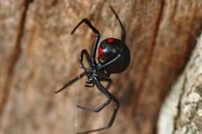 Black widows are among the deadliest spiders in the United States. See more pictures of arachnids.