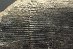 Pre-fossilization, calamites were basically like big bamboo.