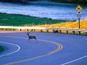 A deer crosses the road in Alberta, Canada.