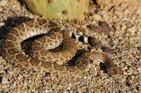The desert is home to a frightful assortment of creatures that can ruin your camping trip with a single sting or bite, like this rattlesnake.