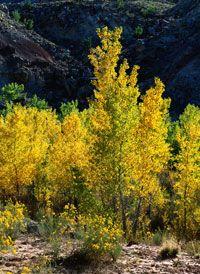 Cottonwood trees in Utah