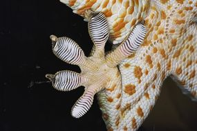 A Tokay Gecko shows off the adhesive toe-pads that allow it to race around walls and ceilings. Researchers are mimicking this characteristic to develop a useful adhesive.