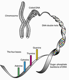 Human genes are found in the rungs of a DNA double helix. DNA makes up the 23 pairs of chromosomes in the human body.