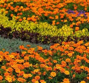 Marigolds can provide a boost of color to any garden.