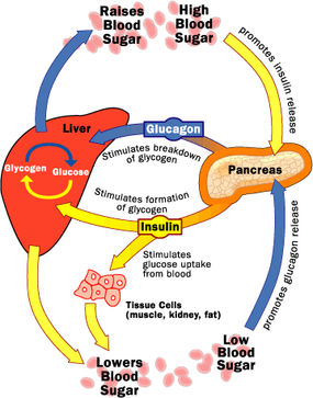 Insulin and glucagon have opposite effects on liver and other tissues for controlling blood-glucose level