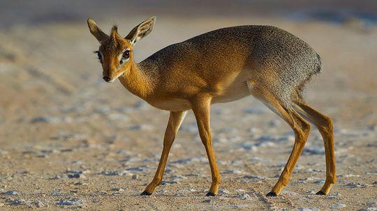 Dik-dik: The Tiny Antelope With the Embarrassing Name