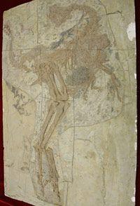 A cast of the skeleton of a birdlike dinosaur known as caudipteryx, on display in Bejing in 2007.