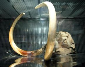 A frozen mammoth discovered in the permafrost zone in Siberia is displayed at Global House March 18, 2005 in Nagakute, Japan.