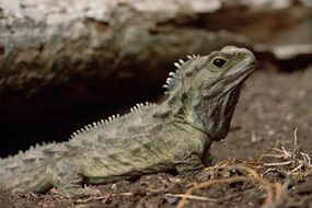 The tuatara (Sphenodon punctatus) is the only surviving species of an order that flourished 200 million years ago in New Zealand.