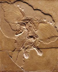Archaeopteryx -- the world's oldest bird. See more dinosaur pictures.