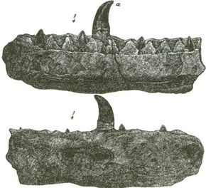 Jaws of a Megalosaurus, from a book by William Buckland