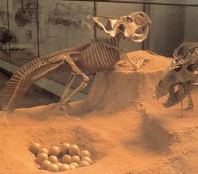 Reconstruction of Protoceratops and nest. See more dinosaur images.