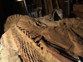Leonardo, the 77-million-year-old Brachylophosaurus See more dinosaur pictures.
