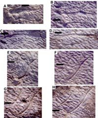 Prints from the trackway at Cameros Basin, Spain, are interpreted as the claw marks of a swimming dinosaur.
