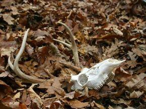 Buck skull lying in the fresh fallen leaves in a forest