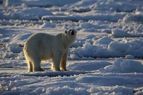 An increasing polar bear population is not necessarily a sign that global warming is a hoax.