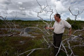 As sea levels rise scientists see changes in vegetation. U.S. government ecologist Phillip Hughes inspects dead buttonwood trees in Big Pine Key, Fla. as live mangrove trees grow nearby. The buttonwood has succumbed to salt water incursion.