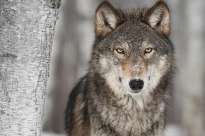 We all know wolves can be formidable predators, but do they have a bulkier, more menacing relative lurking out there?