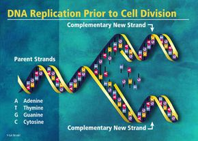 The double helix of DNA unwinds and each side serves as a pattern to make a new molecule.