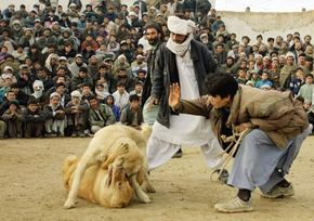 Dogfighting remains a popular spectacle in countries around the world, including Afghanistan, where this fight took place in 2001.