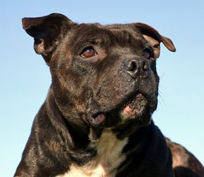 Staffordshire bull terriers are commonly used as fighting dogs.