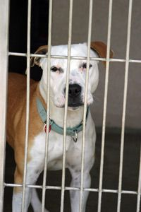 Animal shelters report rising levels of abandoned pit bulls and other dogs typically associated with dogfighting.