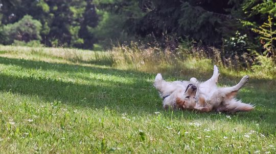 Dogs Love Rolling in Stinky Stuff