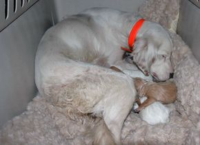 Like wolf puppies, newborn dogs are blind, deaf, and completely dependent on their mother.