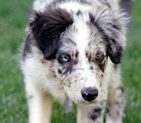 """A Border Collie pup starting to use """"the eye"""""""