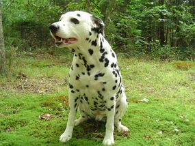 Dalmatians are very active dogs and need lots of exercise.