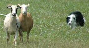 A Border Collie herding goats
