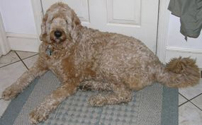 An F1 (first generation) Labradoodle