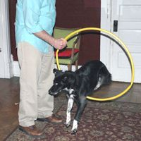 This dog is being trained, or shaped, to jump through a hoop.