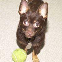 Hector, a Chihuahua mix, waits to be thrown the ball.