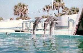Performing dolphins