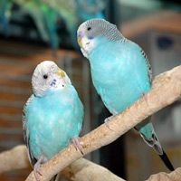 It's important for parakeets and other birds kept as pets to be hand-trained.