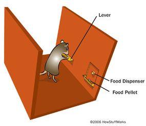 A rat in a basic Skinner box