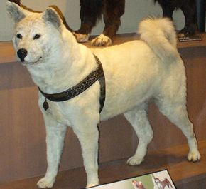 The mounted remains of Hachiko, on display at the Museum of Nature and Science in Tokyo. See more dog images.