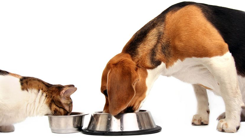 cat and dog eating