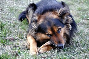This dog isn't chewing on a chicken bone, which is good, because chicken bones can be dangerous for our canine best friends.