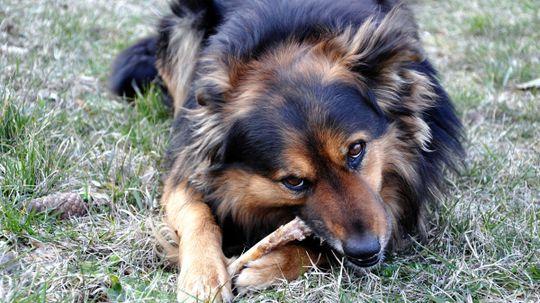 What if a dog eats a chicken bone?