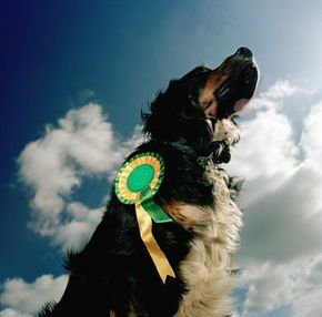 Thousands of dogs compete in local and nation-wide dog shows every year. See more dog pictures.