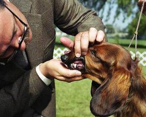 Dog show judge examining Dachshund's teeth