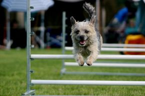 Terrier competing in an agility show