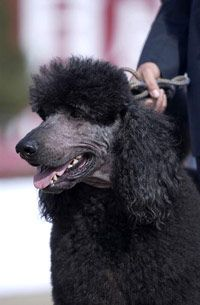 Dogs compete in local dog shows before going on to large events like Westminster