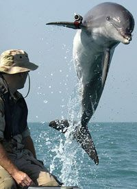 This U.S. Navy trained dolphin leaps to show off the camera on his right flipper. See more dolphin pictures.