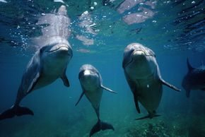 These bottle-nosed dolphins can spot faraway objects in murky waters because of their echolocation capabilities.