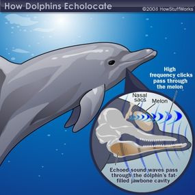 The dolphin's amazing biosonar allows it to distinguish a quarter from a dime while blindfolded.