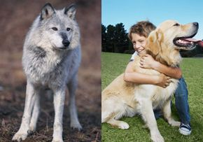 The modern dog evolved from the gray wolf, essentially changing from a dangerous predator to a loving family pet.