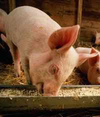 How do the little piggies eat? Thanks to their flexible diet, pigs made a great candidate for domestication.